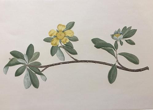 Banks' Florilegium Plate 3