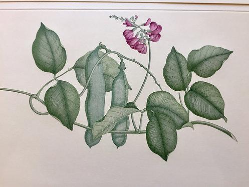Banks' Florilegium Plate 78
