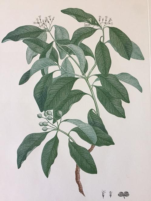 Banks' Florilegium Plate 13