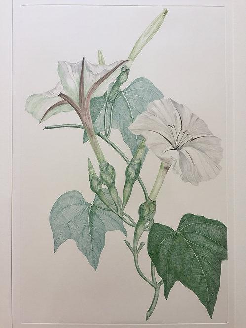 Banks' Florilegium Plate 222