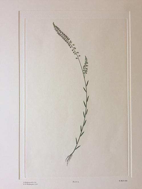 Banks' Florilegium Plate 15