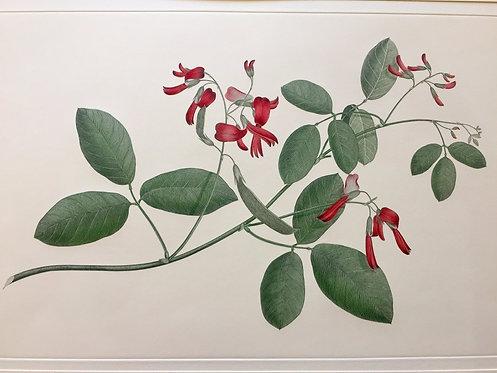 Banks' Florilegium Plate 74