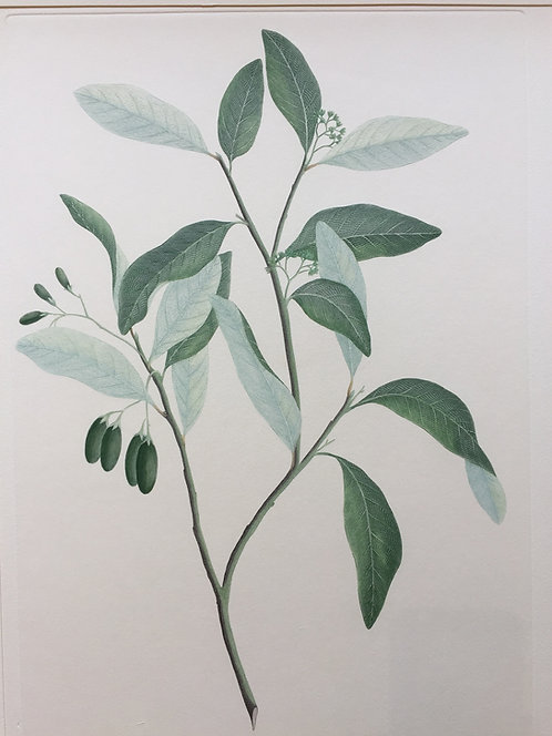 Banks' Florilegium Plate 268