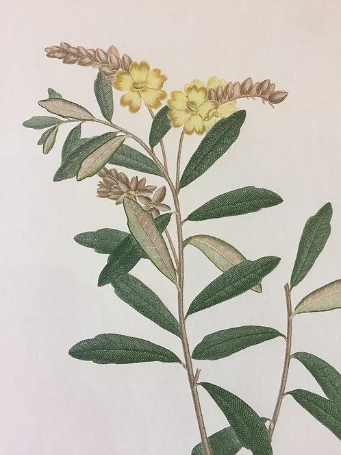 Banks' Florilegium Plate 2