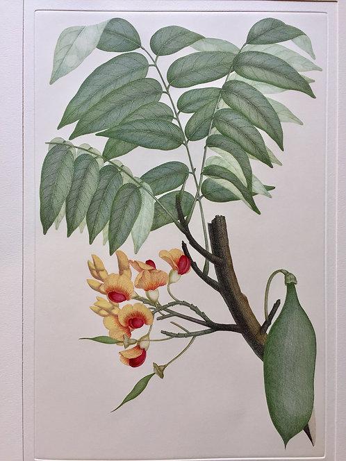Banks' Florilegium Plate 84
