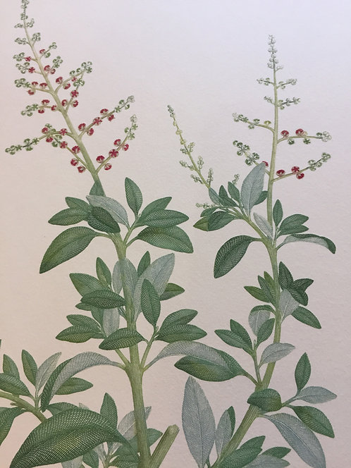 Banks' Florilegium Plate 259