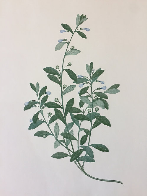 Banks' Florilegium Plate 9