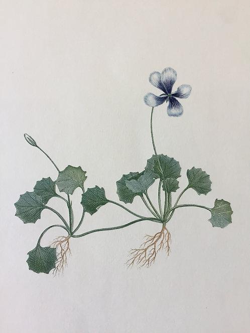 Banks' Florilegium Plate 8