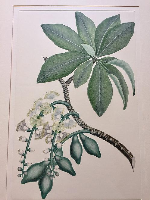 Banks' Florilegium Plate 127