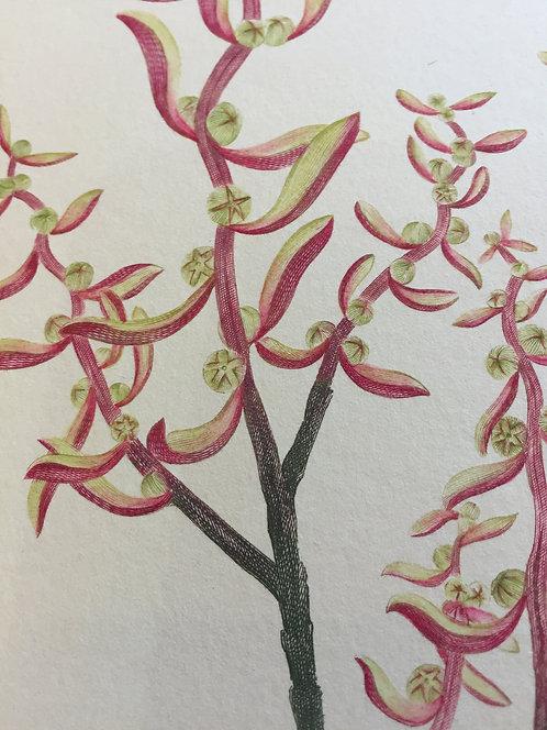 Banks' Florilegium Plate 260