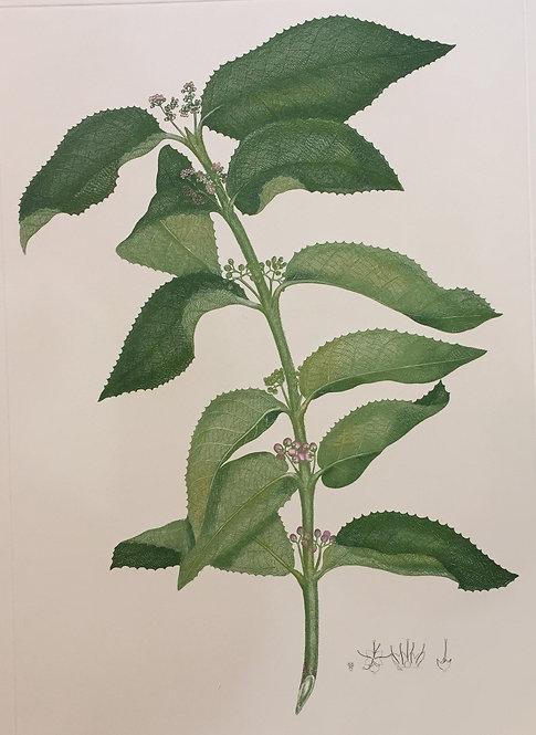 Banks' Florilegium Plate 252