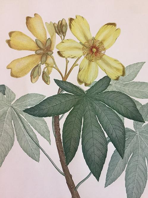 Banks' Florilegium Plate 12