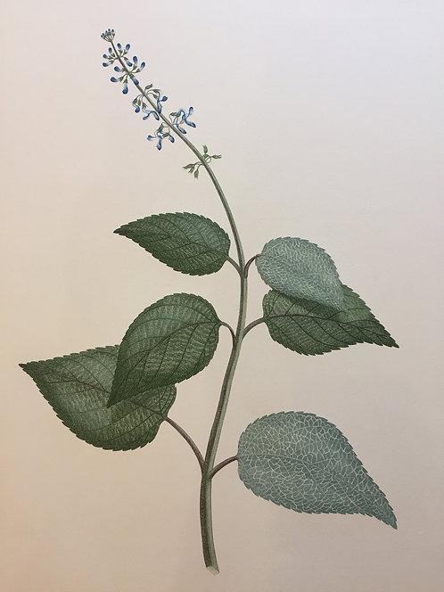 Banks' Florilegium Plate 255