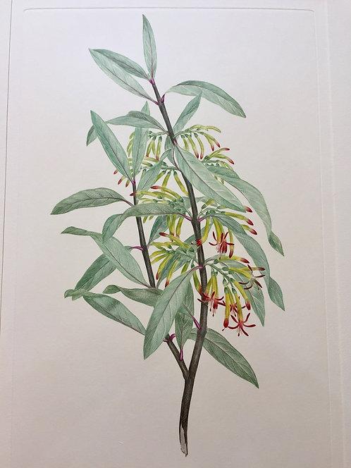 Banks' Florilegium Plate 289
