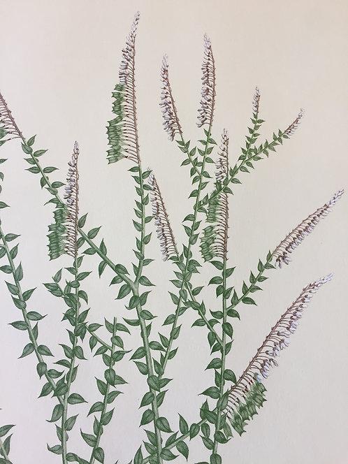 Banks' Florilegium Plate 18