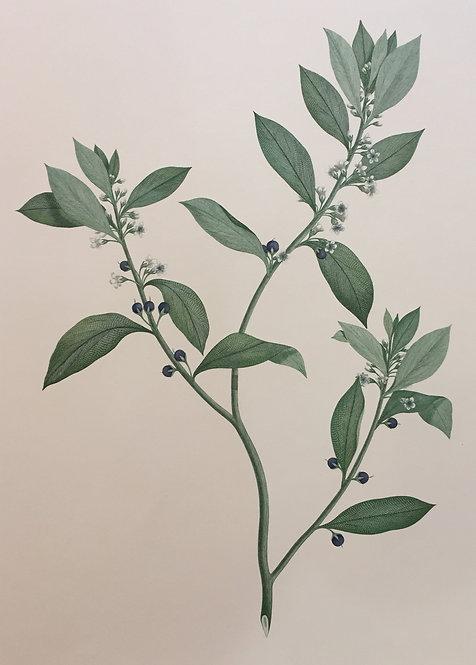 Banks' Florilegium Plate 251
