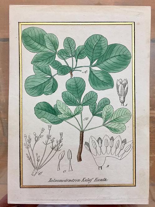 Balsamodendron Kataf Kunth