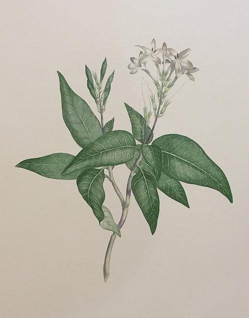 Banks' Florilegium Plate 250