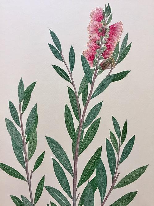 Banks' Florilegium Plate 113