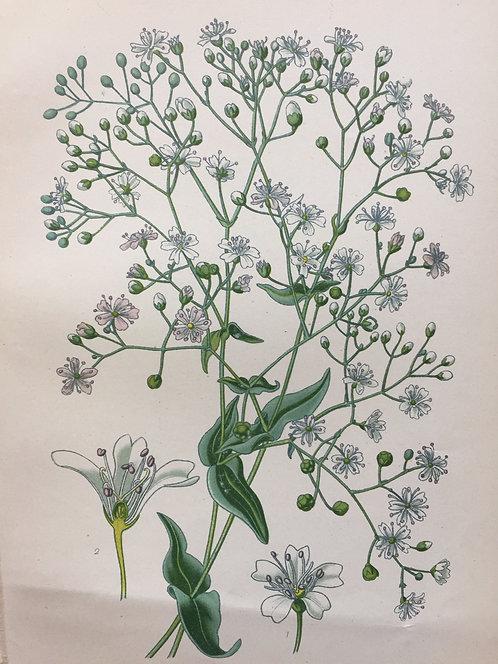 Gypsophila Elegans