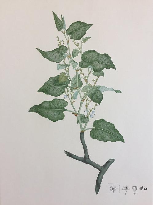 Banks' Florilegium Plate 265