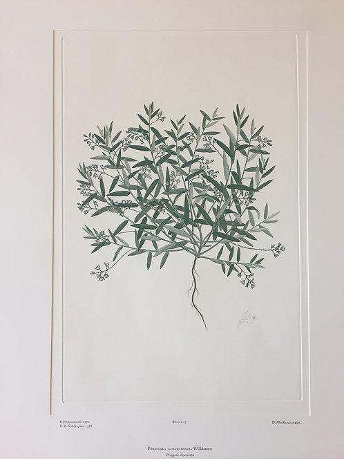 Banks' Florilegium Plate 17
