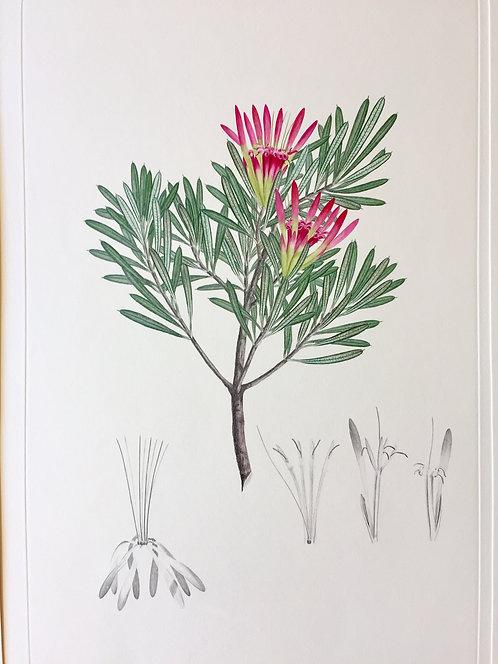 Banks' Florilegium Plate 276