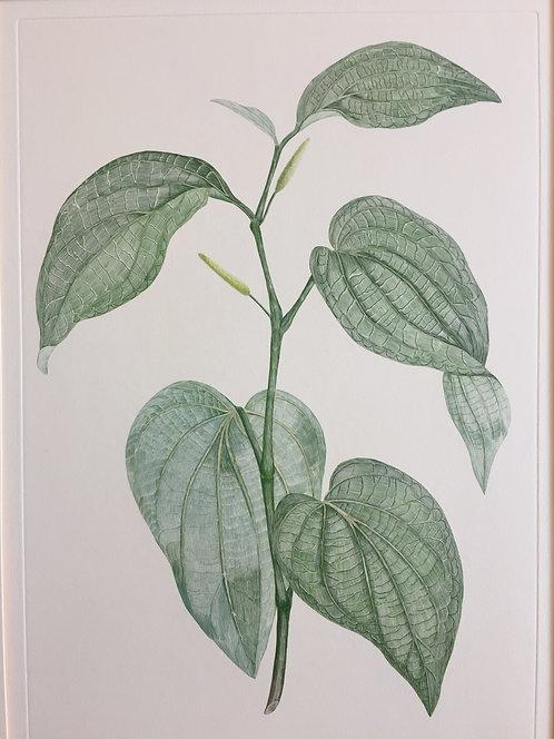 Banks' Florilegium Plate 266