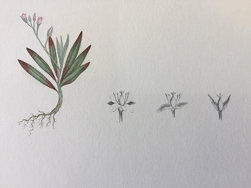 Banks' Florilegium Plate 21
