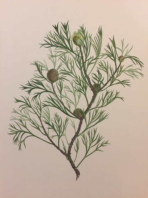 Banks' Florilegium Plate 270