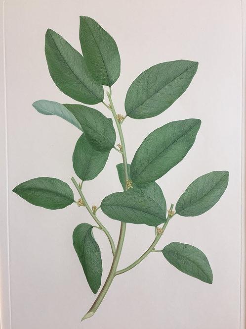 Banks' Florilegium Plate 267