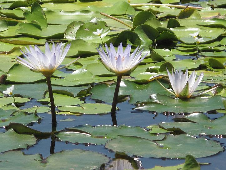 bali lotus.JPG