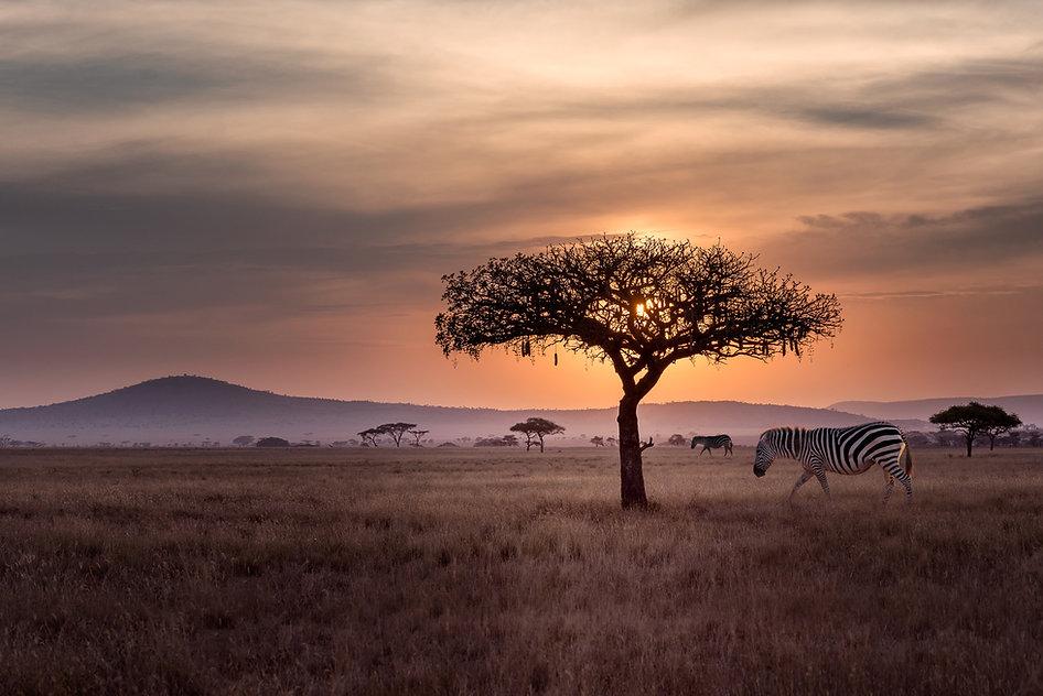 Safari in the Serengeti with Zebra Grazing