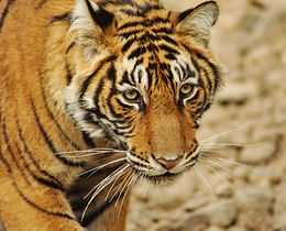 Want to Help? Adopt a Tiger