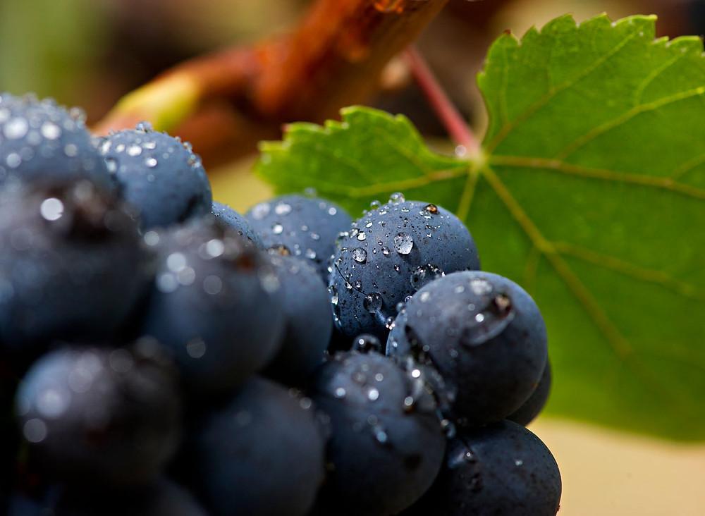 La Champagne e le grandi uve da spumantistica: il pinot noir