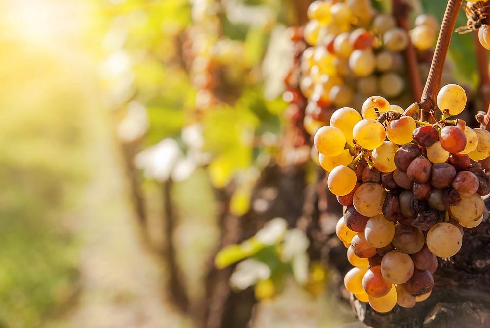 Il furmint, uva principale con cui si produce il Tokaji è ricca di acidità, aromi e struttura e viene facilmente attaccata dalla botrytis cinerea