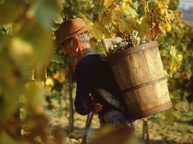 Gli acini muffati vengono posti in gerle chiamate puttonyos contenenti aszù, uva appassita e botritizzata