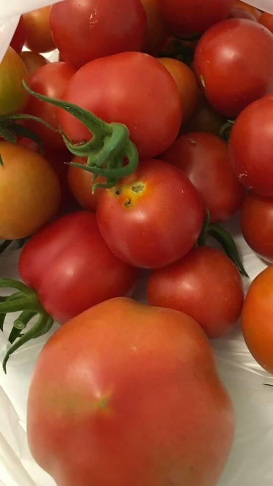 """Primera cosecha de tomates en """"El Abrazo"""""""