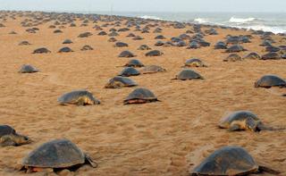 Anidación de tortugas en Tulum