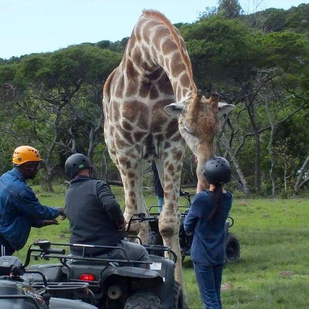 Giraffe kisses for Inch at Areena Rivers