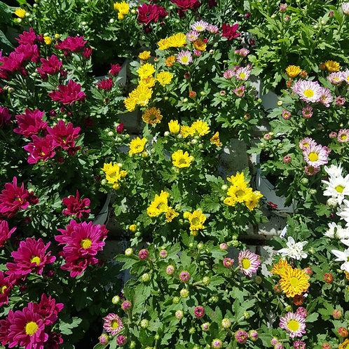 צמחים פורחים 15 שח