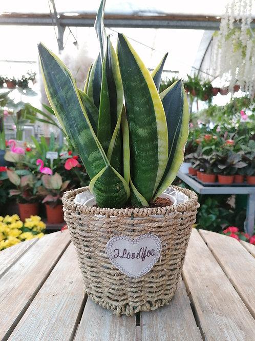 מבחר צמחים לבית בסלסלת קש