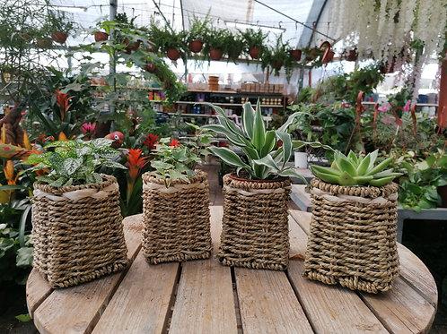 צמחים ירוקים קטנים בסלסלת קש