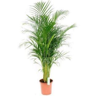 Palme Kinderzimmer, Pflanze Kinderzimmer