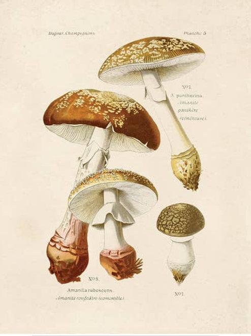 Vintage Botanical Mushroom Blusher 8x10 Print
