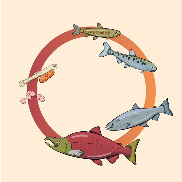 Salmon Lifecycle
