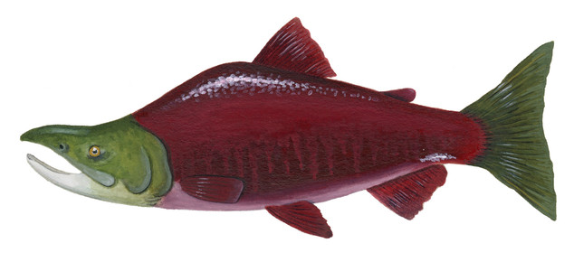 Sockeye Salmon Male