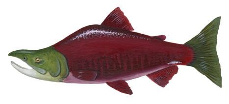 Sockeye Salmon Male