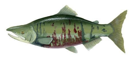 Chum Salmon Male