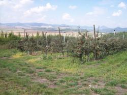 Opěrná onstrukce sadu jabloní
